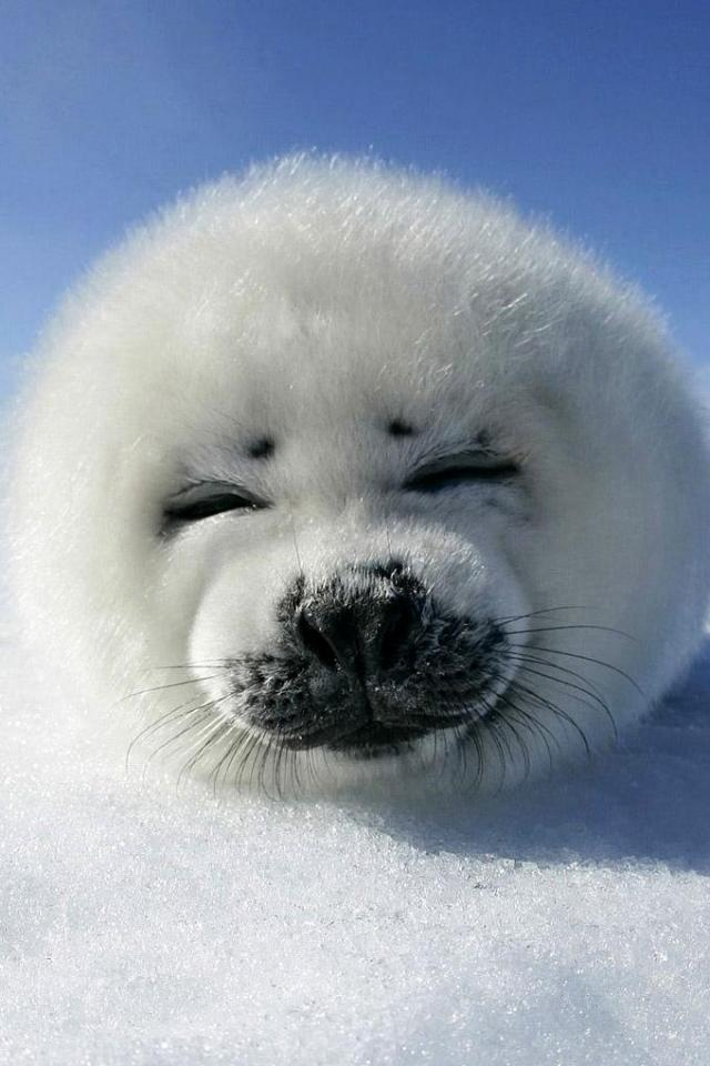 wallpaper iPhone Baby Harp Seal
