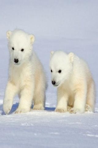 wallpaper iPhone Polar Cubs