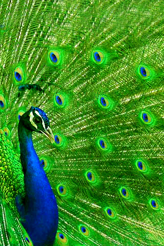 wallpaper iPhone Peacock