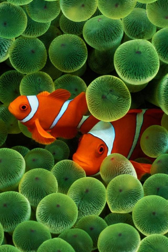 wallpaper iPhone Clownfish