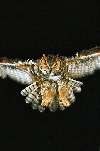 wallpaper iPhone Flight of the Owl