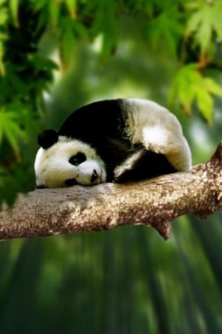 wallpaper iPhone Sleepy Panda