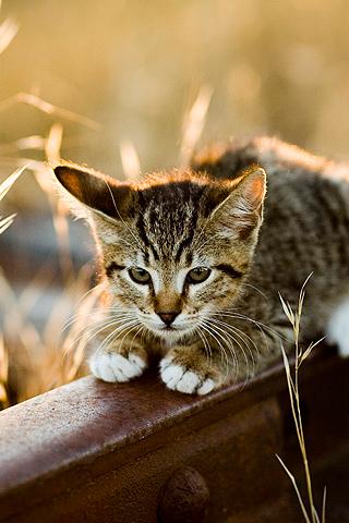 wallpaper iPhone Crouching Kitty