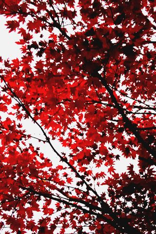 wallpaper iPhone Red Leaves