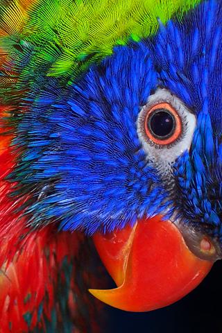 wallpaper iPhone Parrot