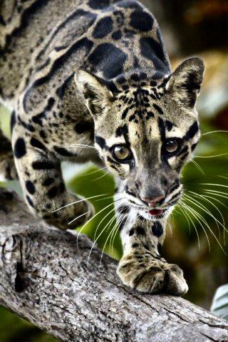 wallpaper iPhone Clouded Leopard