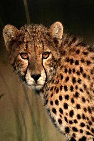 wallpaper iPhone Cheetah