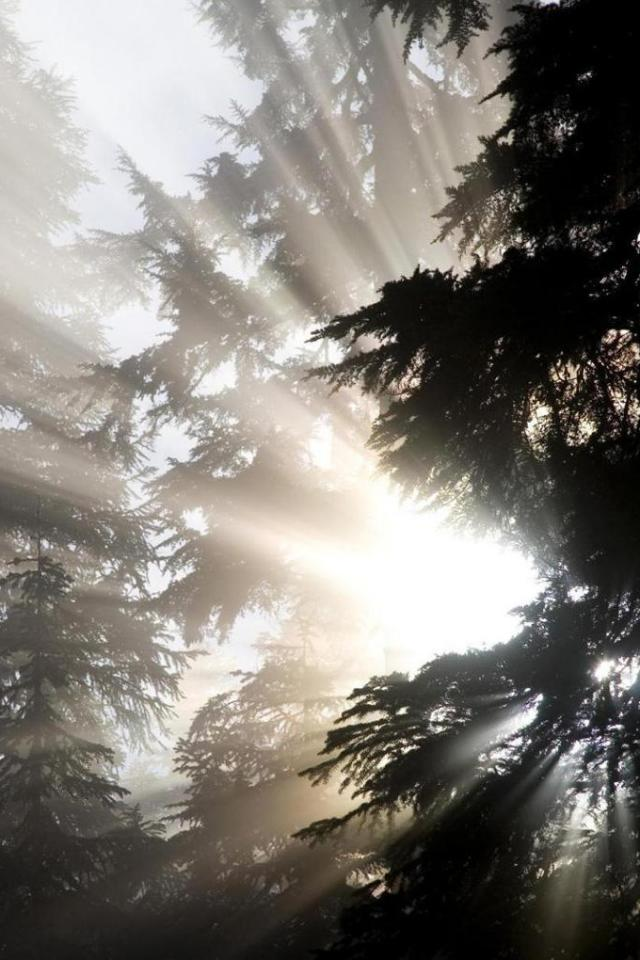 wallpaper iPhone Forest Rays