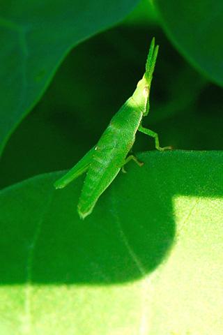 wallpaper iPhone grasshopper ipod touch