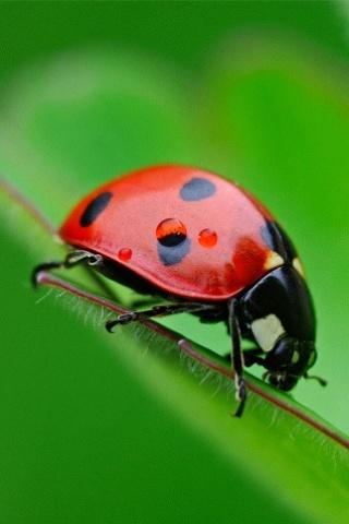wallpaper iPhone Ladybug