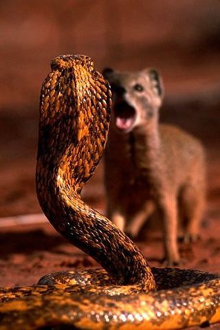 wallpaper iPhone Mongoose vs. Cobra