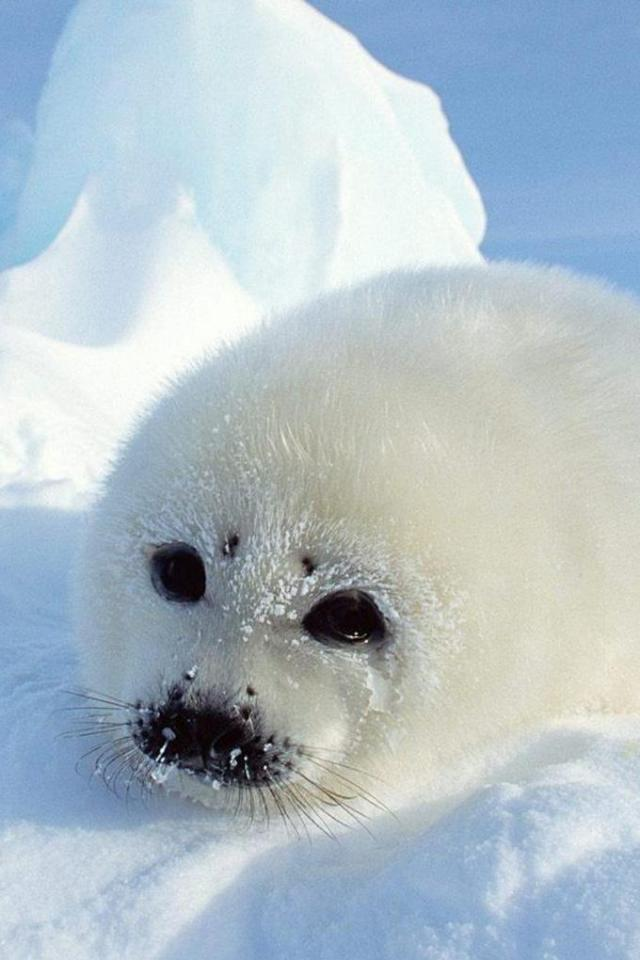 wallpaper iPhone Harp Seal