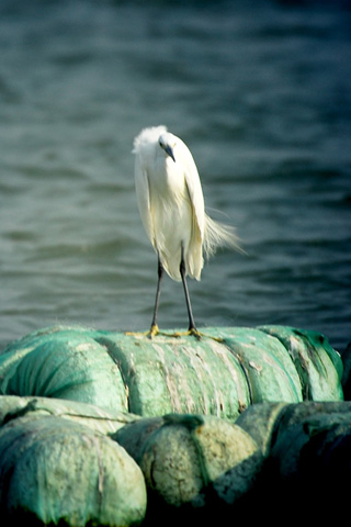 wallpaper iPhone egret iphone