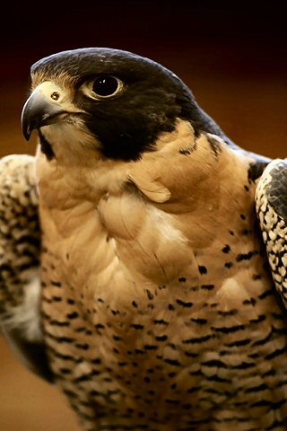 wallpaper iPhone Peregrine Falcon