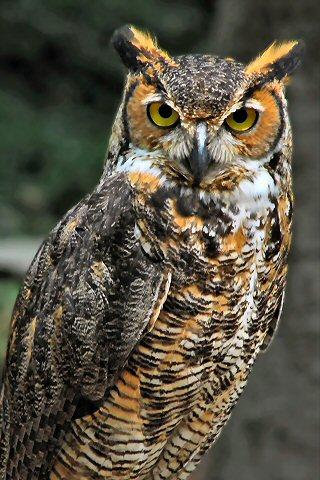 wallpaper iPhone Horned Owl