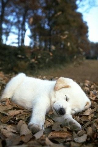 wallpaper iPhone Sleepy Puppy