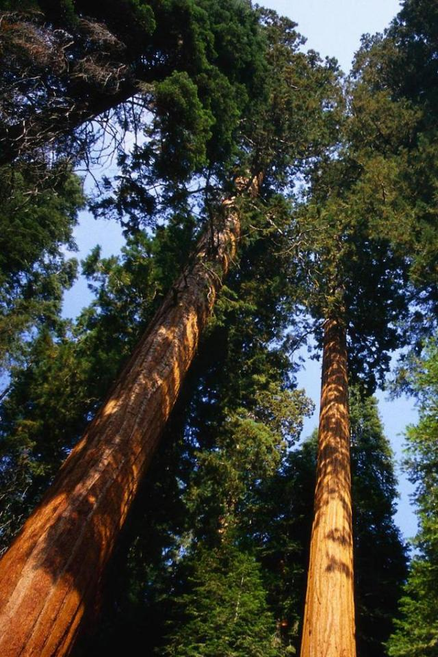 wallpaper iPhone Redwoods
