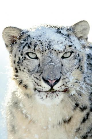 wallpaper iPhone Snow Leopard