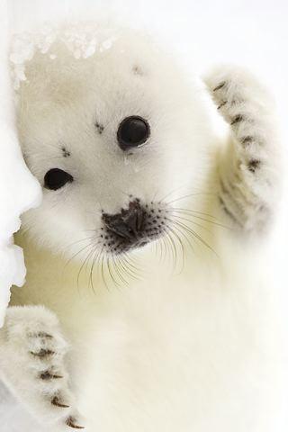 wallpaper iPhone Baby Harp Seal