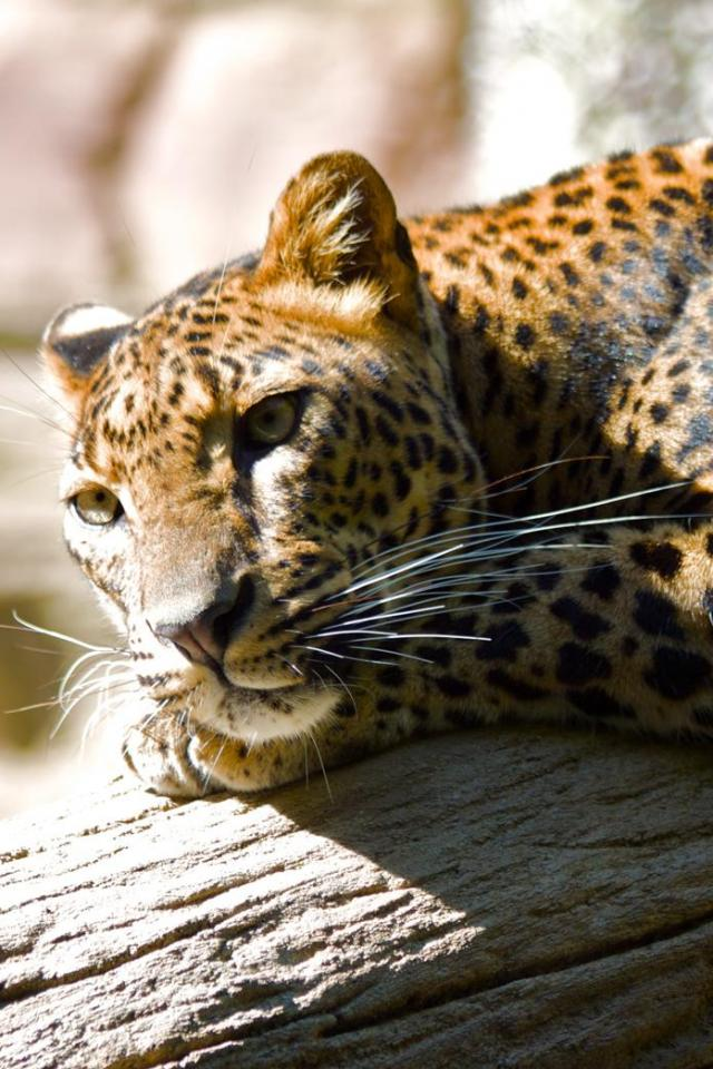 wallpaper iPhone Lounging Leopard