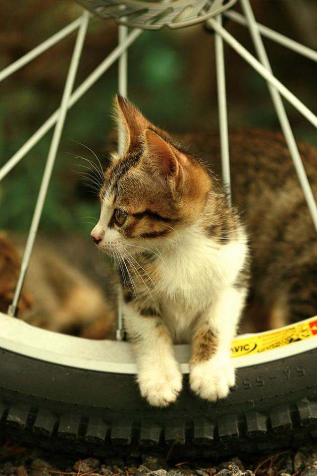 wallpaper iPhone Bike Kitten