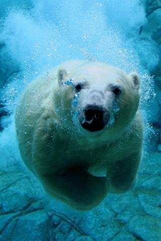 wallpaper iPhone Diving Bear