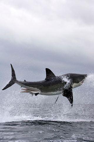 wallpaper iPhone Flying Shark