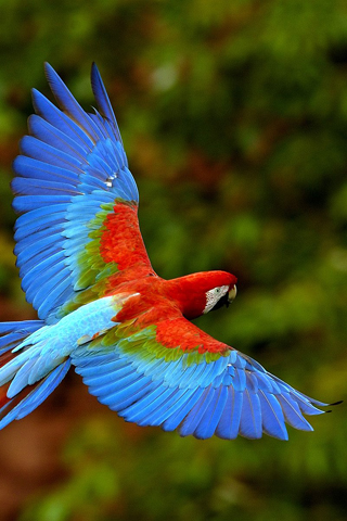 wallpaper iPhone Macaw
