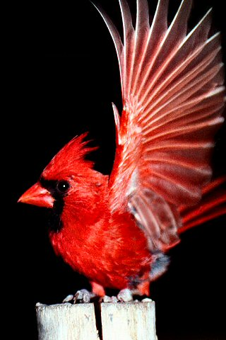 wallpaper iPhone Cardinal