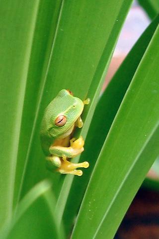 wallpaper iPhone Tree Frog