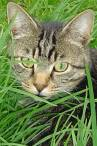 wallpaper iPhone Cat in Grass